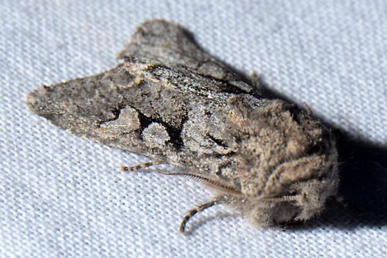 possible  Egira variabilis ?