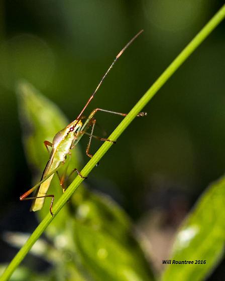 Tiny leafhopper - Stenocoris