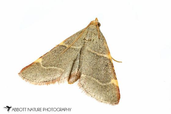 moth - Hypsopygia binodulalis