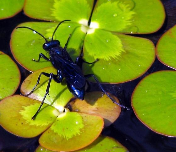 blue wasp? - Chalybion californicum