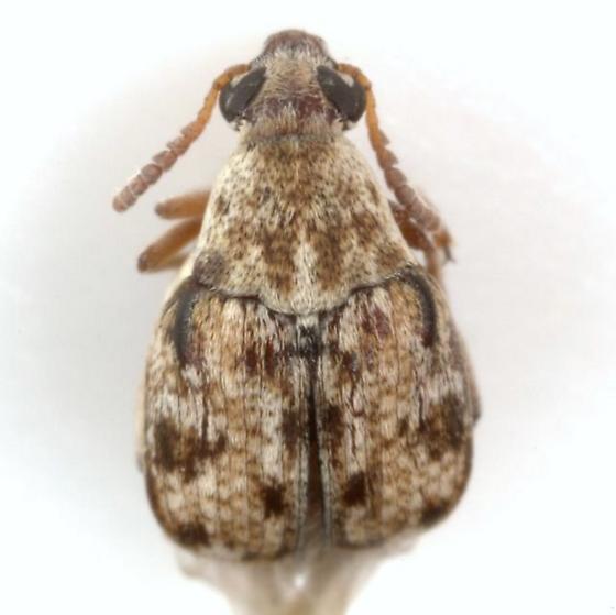 Algarobius bottimeri Kingsolver - Algarobius bottimeri - female