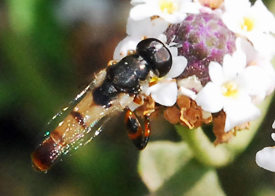 Glad to see your back - Syritta flaviventris - male