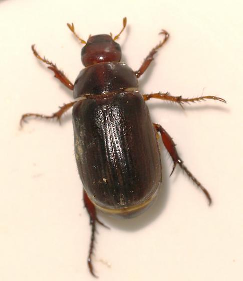Scarab - Anomala castaniceps