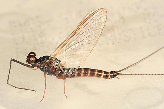 Mayfly - Leptophlebia