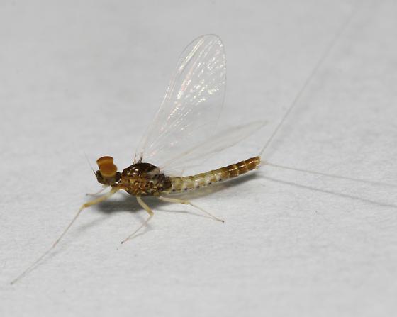 Baetis flavistriga adult male - Baetis flavistriga - male