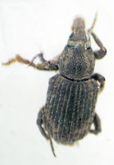 Unknown tiny weevil - Neohydronomus affinis