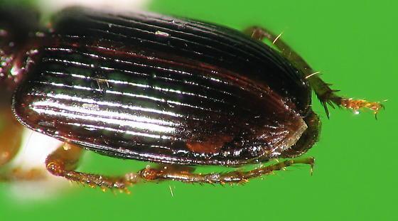 furrowed pronotum carabid - Acupalpus indistinctus