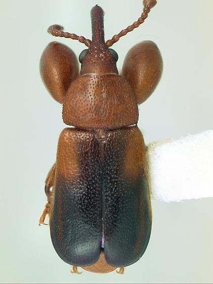 Belidae Rhopalotria slossoni - Rhopalotria slossoni - male