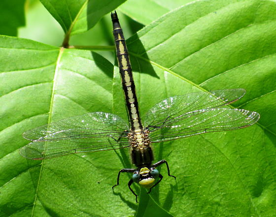 Arigomphus cornutus  - Arigomphus cornutus - female