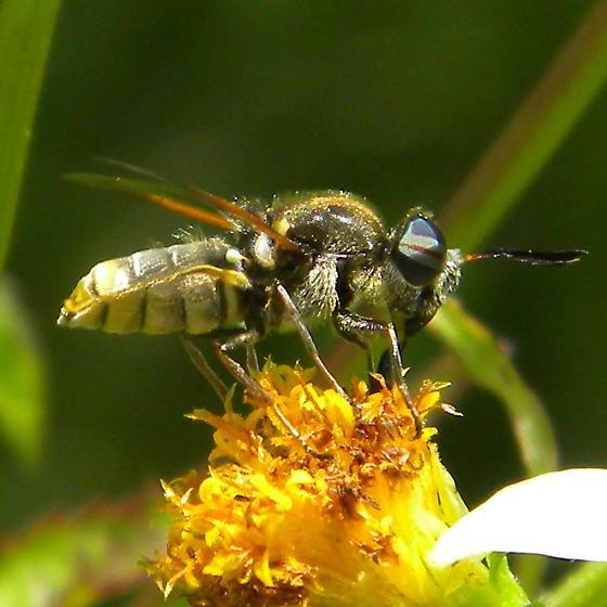 Soldier Fly possibly Hoplitimyia in Florida? - Hoplitimyia mutabilis - male