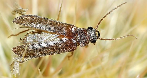 Mystery beetle - Anorus piceus