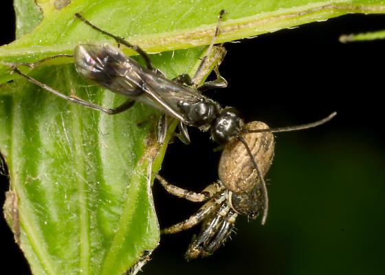Spider  wasp - Dipogon sayi - female