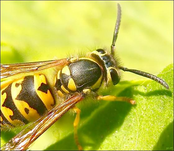unknown yellow jacket... - Vespula pensylvanica - female