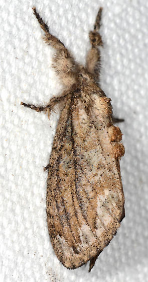 Dasychira atrivenosa