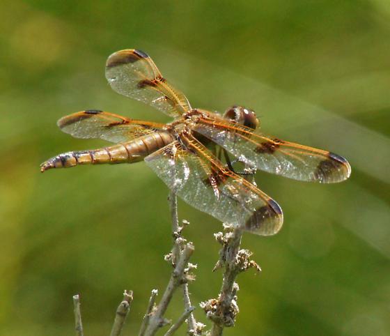 Painted skimmer ? - Libellula semifasciata - female