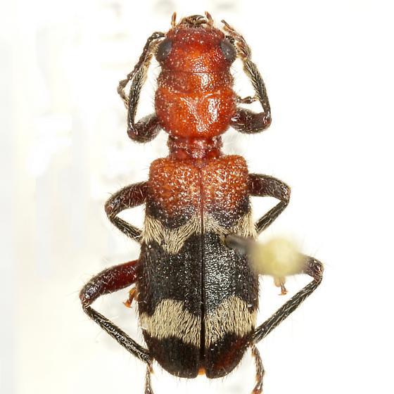 Thanasimus dubius (Fabricius) - Thanasimus dubius