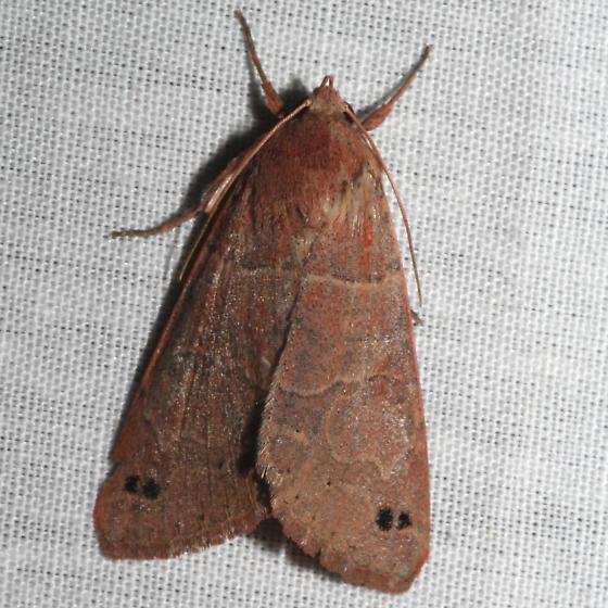 Brown Moth - Cissusa n-sp
