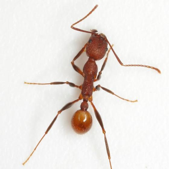 Aphaenogaster lamellidens Mayr - Aphaenogaster lamellidens