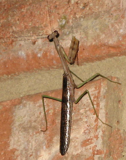 what type o f mantis?  - Stagmomantis carolina - male