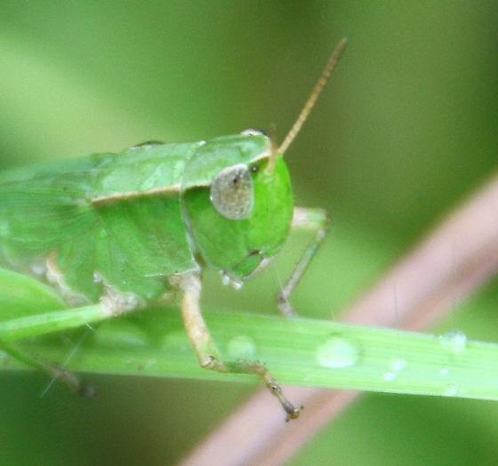 grasshopper, adult or nymph ? - Dichromorpha viridis - female