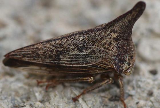 Treehopper, Thelia bimaculata - Thelia bimaculata - female