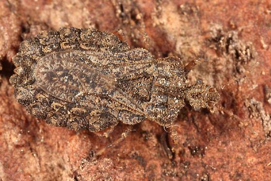 Flat Bug - Aradus crenatus