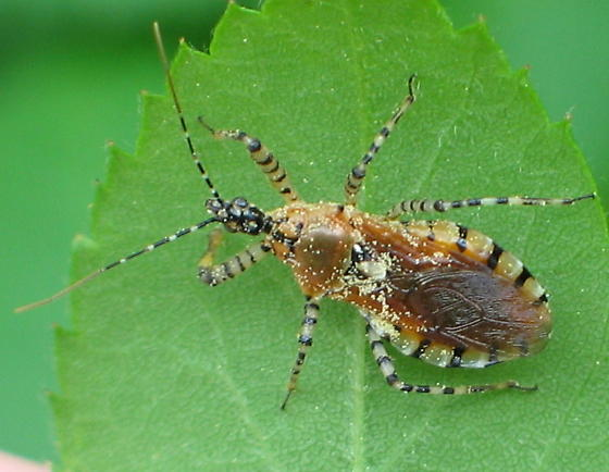 amber Assassin Bug with black and white banded antennas and legs - Pselliopus cinctus