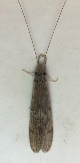 Leptocerid - Oecetis cinerascens - female