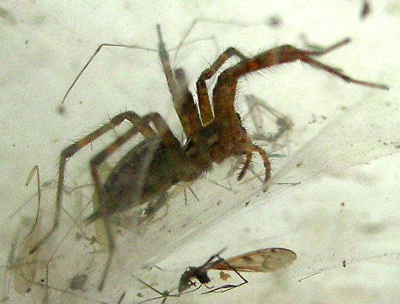 Massachusetts spider - Agelenopsis