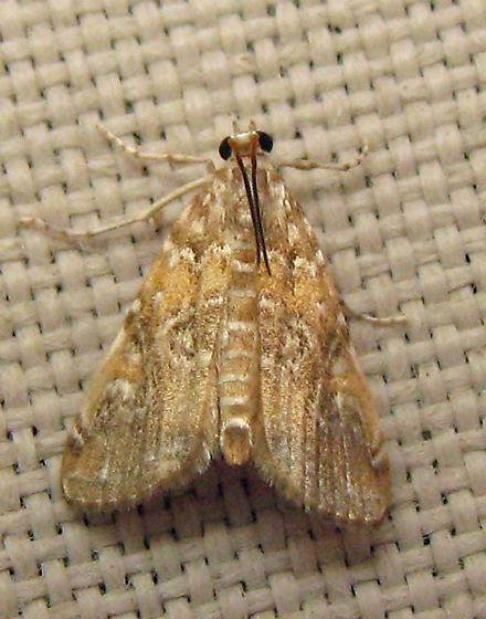 Crambid/Pyralid? - Elophila gyralis