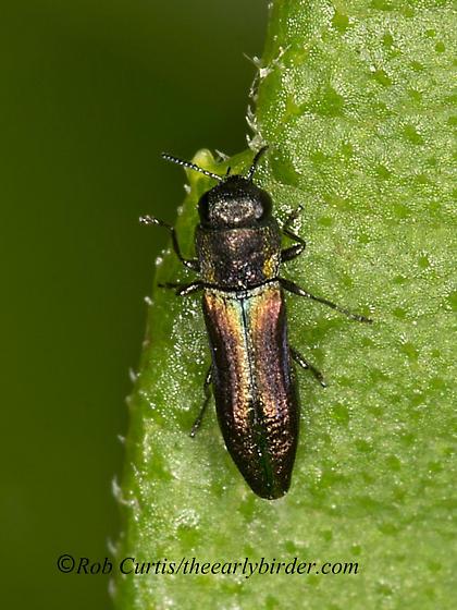 9047128 Agrilus - Agrilaxia flavimana