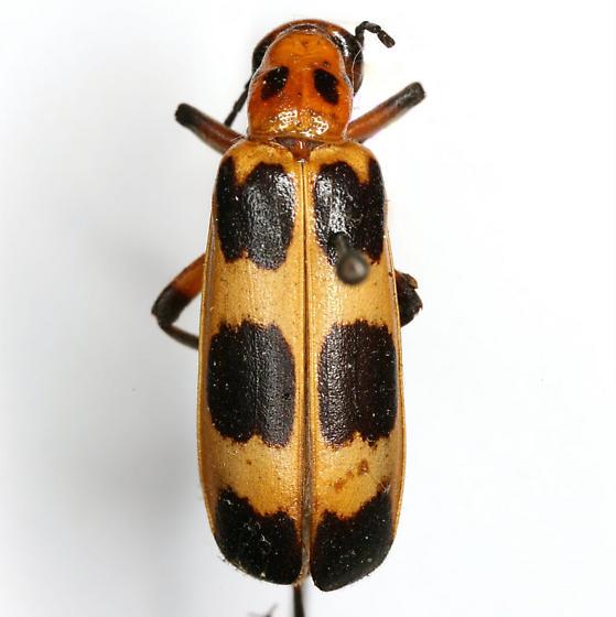 Pyrota perversa Dillon - Pyrota perversa - female