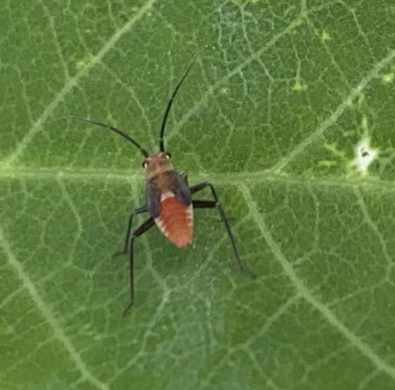 Nymph on Black Locust Tree