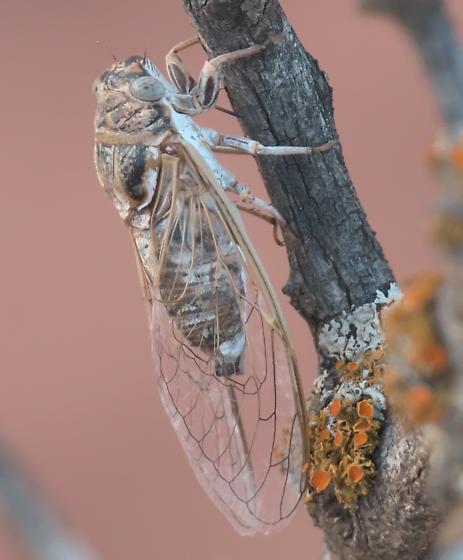 Brown and black cicada - Diceroprocta eugraphica