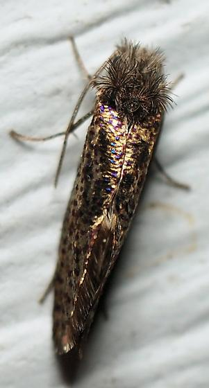 Chinquapin Leaf Miner Moth? - Dyseriocrania griseocapitella