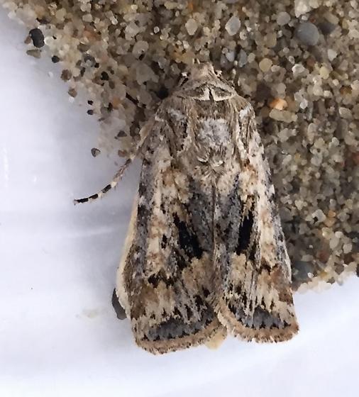 Moth - Euxoa detersa