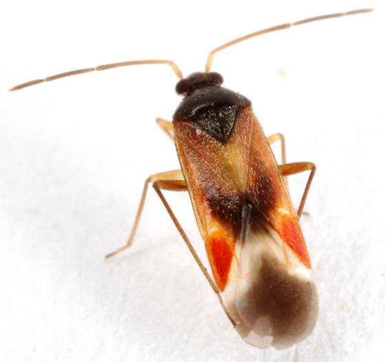 Ceratocapsus apicalis? - Ceratocapsus apicalis