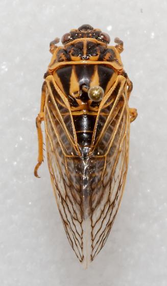 Okanagana synodica - female