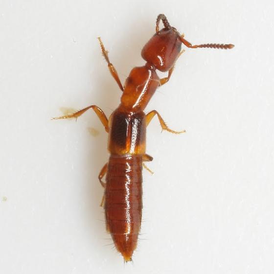 Lithocharodes longicollis (LeConte) - Lithocharodes longicollis