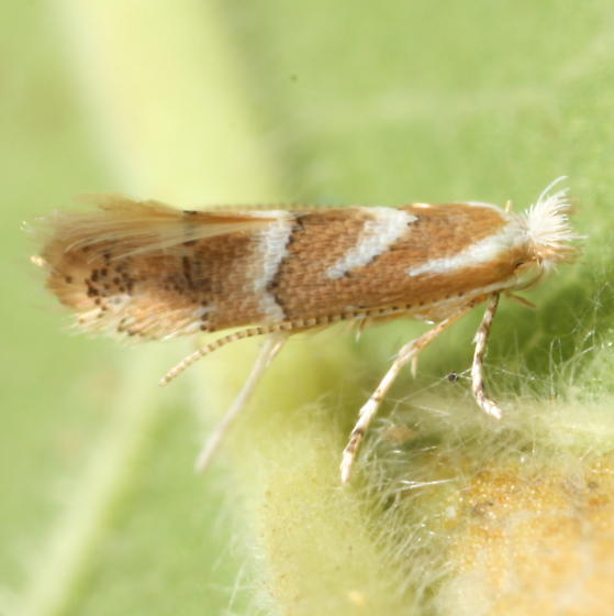 Phyllonorycter occitanica