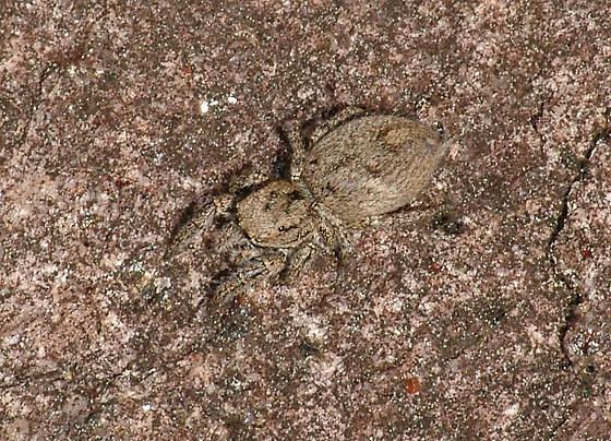 Habronattus sabulosus - female