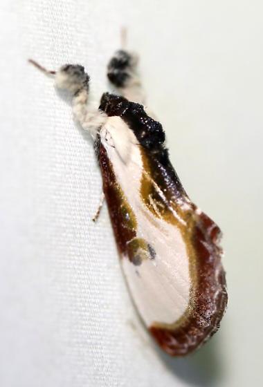 Beautiful Wood-nymph - Eudryas grata