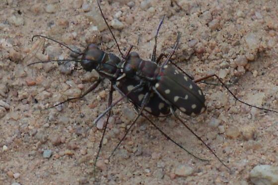 Cicindelidia sp. - Cicindelidia sedecimpunctata