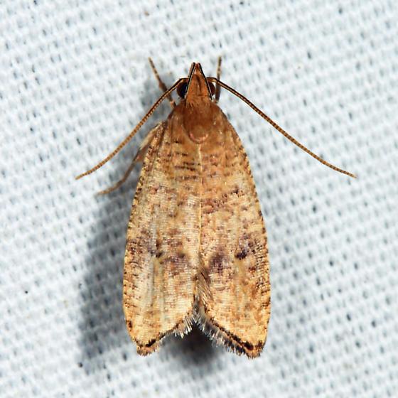 Oak Leaftier Moth - Psilocorsis quercicella