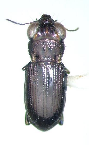 Notiophilus semistriatus