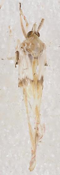 Derbidae Sayiana sayi - Sayiana sayi