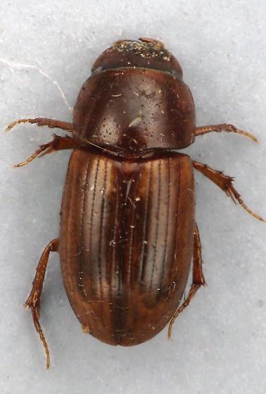 Aphodius - Aphodius stercorosus