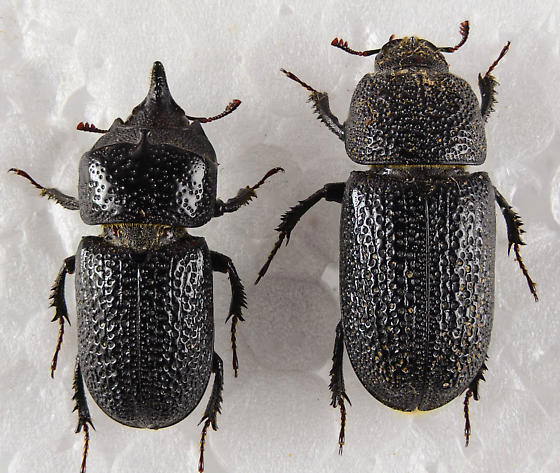 Male & Female Sinodendron rugosum... - Sinodendron rugosum - male - female