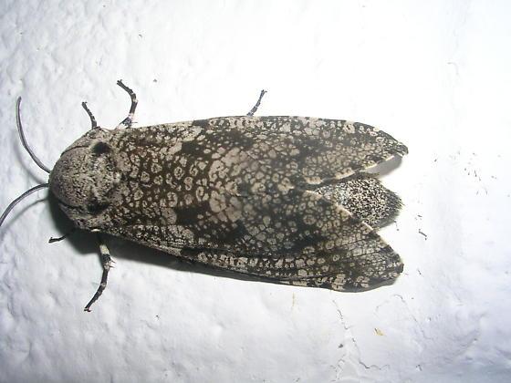 Is this moth a female Prionoxystus robinae? - Prionoxystus robiniae