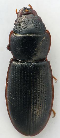 Tenebroides  - Tenebroides laticollis - male